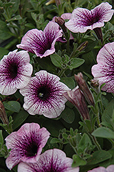 Supertunia® Mini Blue Vein Petunia (Petunia 'Supertunia Mini Blue Vein') at Make It Green Garden Centre