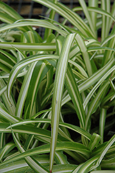 Spider Plant (Chlorophytum comosum) at Make It Green Garden Centre