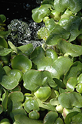 Water Hyacinth (Eichhornia crassipes) at Make It Green Garden Centre