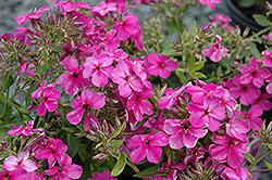 Early Start™ Velvet Garden Phlox (Phlox paniculata 'Early Start Velvet') at Make It Green Garden Centre