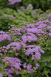 Artist Blue Flossflower (Ageratum 'Artist Blue') at Make It Green Garden Centre