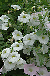 Superbells® White Calibrachoa (Calibrachoa 'Superbells White') at Make It Green Garden Centre