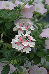 Lanai® Twister™ Pink Verbena (Verbena 'Lanai Twister Pink') at Make It Green Garden Centre