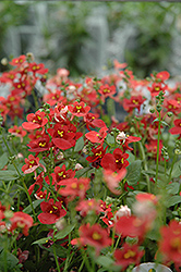 Romeo Red Twinspur (Diascia 'Romeo Red') at Make It Green Garden Centre