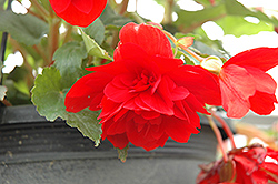 Illumination® Scarlet Begonia (Begonia 'Illumination Scarlet') at Make It Green Garden Centre