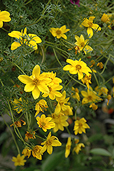 Goldilocks Rocks Bidens (Bidens ferulifolia 'Goldilocks Rocks') at Make It Green Garden Centre