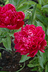 Big Ben Peony (Paeonia 'Big Ben') at Make It Green Garden Centre
