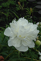 Gardenia Peony (Paeonia 'Gardenia') at Make It Green Garden Centre