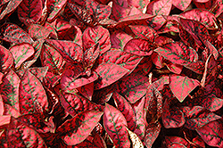 Splash Select Red Polka Dot Plant (Hypoestes phyllostachya 'Splash Select Red') at Make It Green Garden Centre