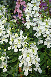 Serena White Angelonia (Angelonia angustifolia 'Serena White') at Make It Green Garden Centre