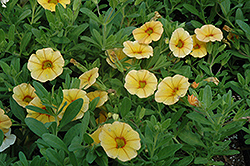 Aloha Gold Calibrachoa (Calibrachoa 'Aloha Gold') at Make It Green Garden Centre