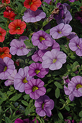 Aloha Blue Sky Calibrachoa (Calibrachoa 'Aloha Blue Sky') at Make It Green Garden Centre