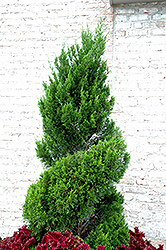 Spartan Juniper (spiral) (Juniperus chinensis 'Spartan (spiral)') at Make It Green Garden Centre