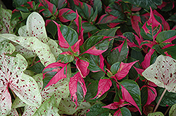 Party Time Alternanthera (Alternanthera ficoidea 'Party Time') at Make It Green Garden Centre