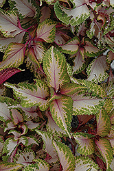 Chaotic Rose Coleus (Solenostemon scutellarioides 'Chaotic Rose') at Make It Green Garden Centre