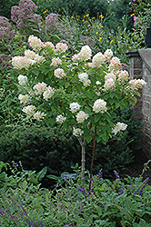 Limelight Hydrangea (tree form) (Hydrangea paniculata 'Limelight (tree form)') at Make It Green Garden Centre