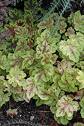 Solar Power Foamy Bells (Heucherella 'Solar Power') at Make It Green Garden Centre