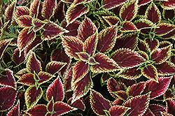 Beckwith's Gem Coleus (Solenostemon scutellarioides 'Beckwith's Gem') at Make It Green Garden Centre