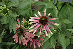 Green Envy Coneflower (Echinacea purpurea 'Green Envy') at Make It Green Garden Centre