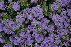 Aloha Blue Flossflower (Ageratum 'Aloha Blue') at Make It Green Garden Centre