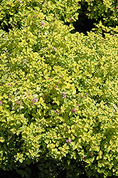 Golden Elf Spirea (Spiraea japonica 'Golden Elf') at Make It Green Garden Centre