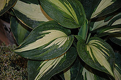 Hudson Bay Hosta (Hosta 'Hudson Bay') at Make It Green Garden Centre