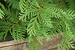 Soft Serve® Falsecypress (Chamaecyparis pisifera 'Dow Whiting') at Make It Green Garden Centre
