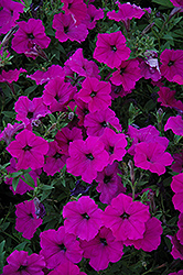 Easy Wave Violet Petunia (Petunia 'Easy Wave Violet') at Make It Green Garden Centre