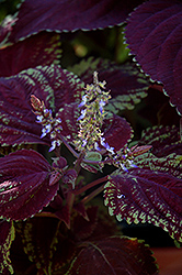 Emotions Sophisticated Coleus (Solenostemon scutellarioides 'Sophisticated') at Make It Green Garden Centre