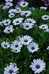 Akila® White African Daisy (Osteospermum ecklonis 'Akila White') at Make It Green Garden Centre