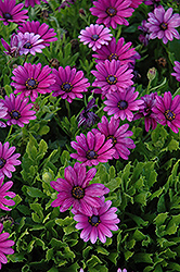 Akila® Purple African Daisy (Osteospermum ecklonis 'Akila Purple') at Make It Green Garden Centre