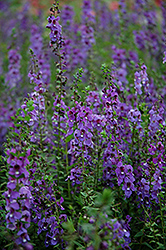 Serena® Blue Angelonia (Angelonia angustifolia 'Serena Blue') at Make It Green Garden Centre