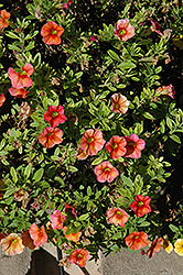 Aloha Hot Orange Calibrachoa (Calibrachoa 'Aloha Hot Orange') at Make It Green Garden Centre