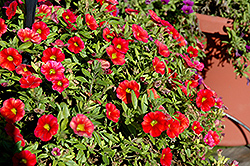 Aloha Fire Calibrachoa (Calibrachoa 'Aloha Fire') at Make It Green Garden Centre