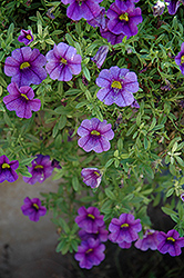 Aloha Purple Calibrachoa (Calibrachoa 'Aloha Purple') at Make It Green Garden Centre