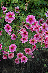 Aloha Volcano Pink Calibrachoa (Calibrachoa 'Aloha Volcano Pink') at Make It Green Garden Centre
