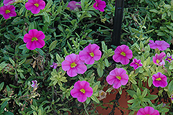 Aloha Pink Calibrachoa (Calibrachoa 'Aloha Pink') at Make It Green Garden Centre