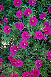 Aloha Neon Calibrachoa (Calibrachoa 'Aloha Neon') at Make It Green Garden Centre