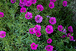 Superbells® Trailing Rose Calibrachoa (Calibrachoa 'Superbells Trailing Rose') at Make It Green Garden Centre