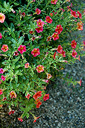 Superbells® Tequila Sunrise Calibrachoa (Calibrachoa 'Superbells Tequila Sunrise') at Make It Green Garden Centre