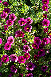 Aloha Kona Dark Lavender Calibrachoa (Calibrachoa 'Aloha Kona Dark Lavender') at Make It Green Garden Centre