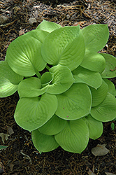 Maui Buttercups Hosta (Hosta 'Maui Buttercups') at Make It Green Garden Centre