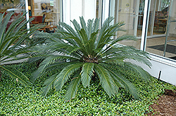 Japanese Sago Palm (Cycas revoluta) at Make It Green Garden Centre