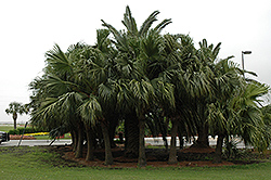 Chinese Fan Palm (Livistona chinensis) at Make It Green Garden Centre