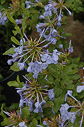 Imperial Blue Plumbago (Plumbago auriculata 'Imperial Blue') at Make It Green Garden Centre