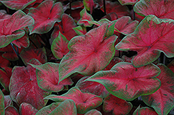 Postman Joyner Caladium (Caladium 'Postman Joyner') at Make It Green Garden Centre