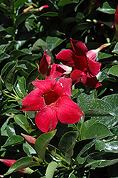 Red Mandevilla (Mandevilla 'Red') at Make It Green Garden Centre