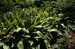 Cast Iron Plant (Aspidistra elatior) at Make It Green Garden Centre