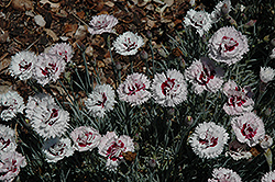 Silver Star Pinks (Dianthus 'Silver Star') at Make It Green Garden Centre