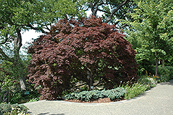 Burgundy Lace Japanese Maple (Acer palmatum 'Burgundy Lace') at Make It Green Garden Centre